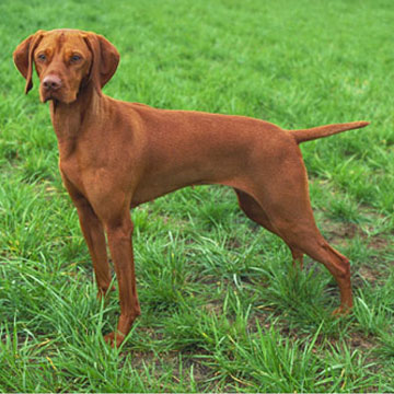 Accommodation for dog breeder for World Dog Show Budapest and Hungarian International Dog Show focusing on Hungarian breeds like vizsla